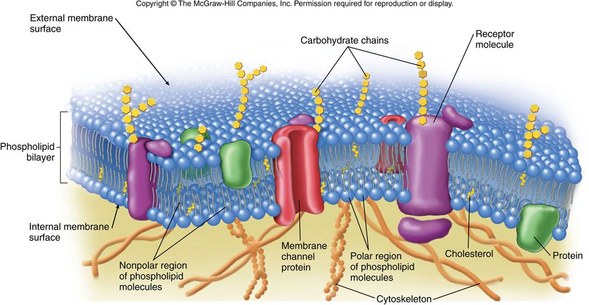 Beautiful Cell In Anatomy Component - Anatomy And Physiology Biology ...